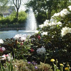 Rhododendren an den Teichanlagen 2_Bad Rothenfelde (HPF)