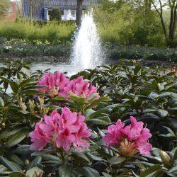 Rhododendren an den Teichanlagen_Bad Rothenfelde (HPF)